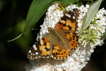 Thistle butterfly sitting on a blooming white butterfly bush - painted lady - (Vanessa cardui) (Cynthia cardui)