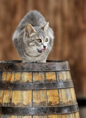 Young grey tabby cat, squatting on a barrel