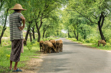 Picture of a shepherd with his cattles.