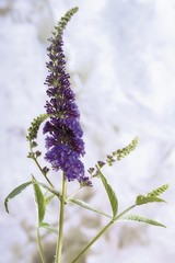 Violet Butterfly Bush (Buddleja)