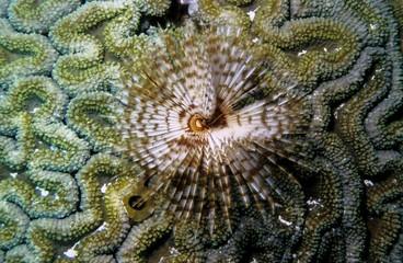 Featherduster Tube Worm (Sabellastarte indica), Indonesia, Asia