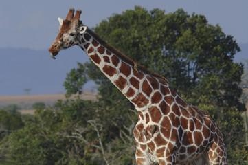Somali Giraffe (Giraffa camelopardalis reticulata) Samburu national park, Kenya, Africa