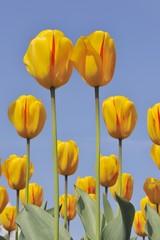 Didier's Tulip (Tulipa gesneriana)