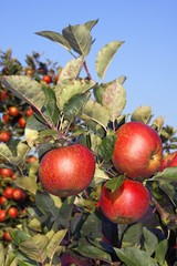 Red Apples (Malus x domestica), apple tree in an orchard, Altes Land, Lower Saxony, Germany, Europe