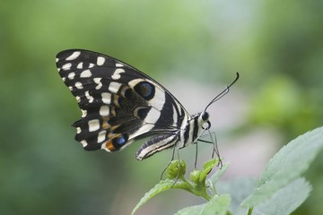 Citrus Swallowtail Butterfly (Papilio demodocus)