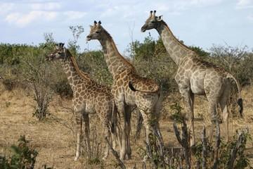 Three giraffes (Giraffa camelopardalis), Botswana, Africa