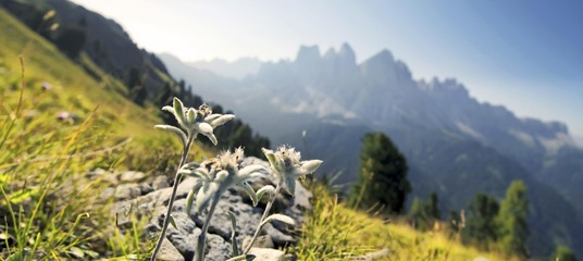 Edelweiss (Leontopodium nivale), Geisler group at the back, Aferer Geisler mountains, Villnoesstal valley, province of Bolzano-Bozen, Italy, Europe