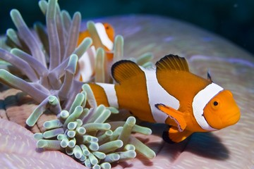 False anemonefish or Clownfish Amphiprion ocellaris.