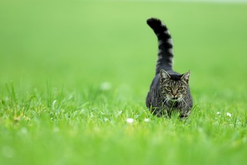 Domestic cat (Felis catus) walking over a lawn, Mindelheim, Bavaria, Germany, Europe