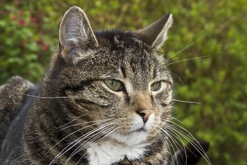 Male Domestic Cat (Felis silvestris catus), portrait