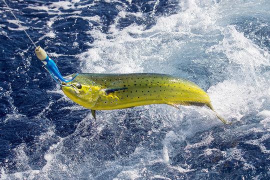 Fresh Mahi Mahi being caught in ocean