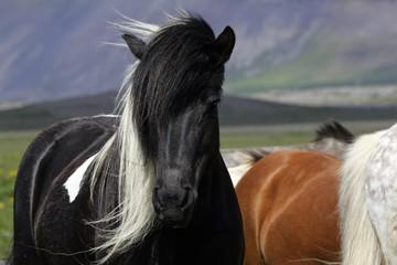 Iceland-horse in Iceland (Equus islandicus)