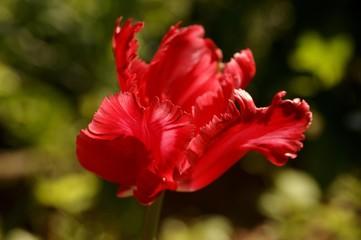 Red Tulip (Tulipa) blossom back lit, Eckental, Middle Franconia, Bavaria, Germany, Europe