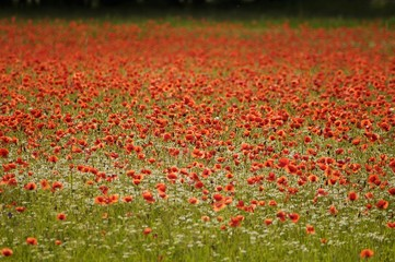 Corn Poppies or Field Poppies (Papaver rhoeas) growing on a meadow, Brand, Middle Franconia, Bavaria, Germany, Europe