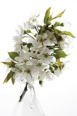 Cherry tree blossoms (Cerasus)