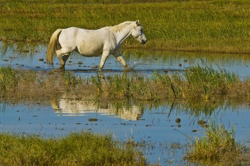 White Horse in Camargue, Provence-Alpes-Cote d'Azur, France, Europe