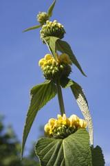 Jerusalem Sage, Lampwick Plant (Phlomis russeliana, Phlomis samia)