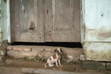 Young dog in front of a wooden door, Pantanal, Mato Grosso, Brazil, South America