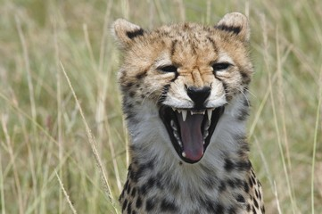 Cheetah (Acinonyx jubatus), open-mouthed, Masai Mara National Reserve, Kenya, Africa