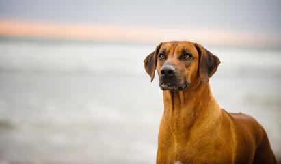 Rhodesian Ridgeback dog outdoor portrait at ocean with sunset