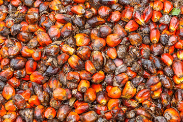 Seeds of oil palm