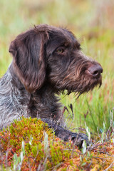 portrait of hunting dog german wirehaired pointer