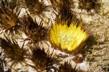 barrel cactus flower opening to the sun ready for honey bees