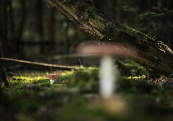 Smal red amanita muscaria mushroom.