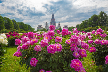Wide angle view of pink peony flowers in the summer botanic garden of Moscow State university