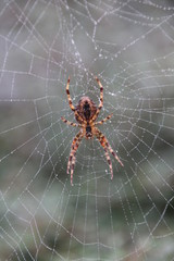 Spider in her web in the morning dew
