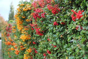 Red and yellow berries in hedge during autumn