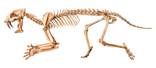 Saber - toothed tiger ( Hoplophoneus primaevus ) skeleton . Isolated background