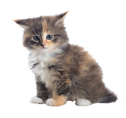 Funny, fluffy, tri-colored kitten. Isolated. A series of photos in various poses.