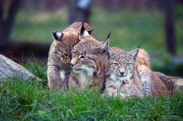 Aluminium Prints Lynx Familie Luchse