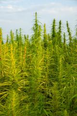 Cannabispflanzen