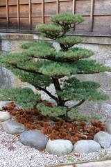 盆栽、松の木