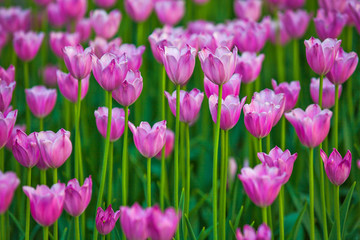 Pink tulips in the garden.