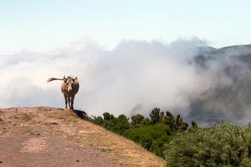 Cow near cliff