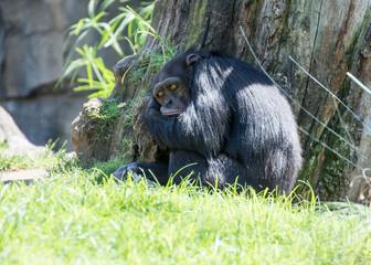 Schimpanse im Biopark Valencia.