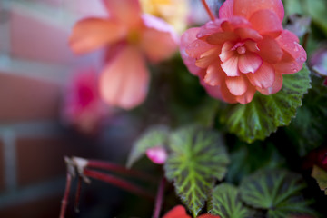 Bright flowers of tuberous begonias (Begonia tuberhybrida) close up in an English hanging basket