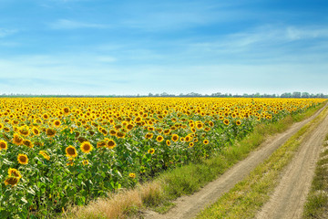 Beautiful sunflower field on sunny day