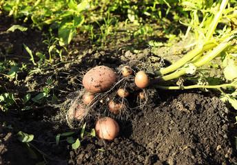 Potato plant with tubers on soil