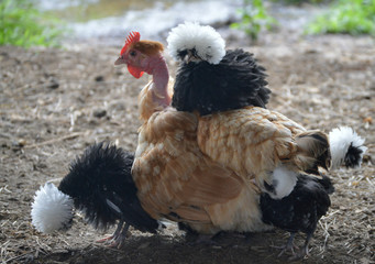 Naked neck hen with frizzle polish chick on her back. Shows multicultural love in animals.