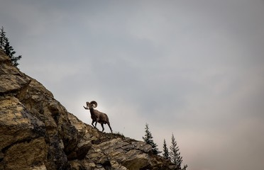 Jasper National Park - Mountain Goat