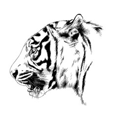 snarling face of a tiger drawn by hand on a white background tattoo