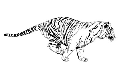 large striped tiger drawn in ink by hand on a white background