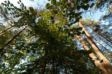Сосновый лес, вид снизу