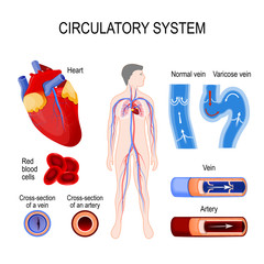 circulatory system: heart, cross-section artery and vein, normal vein and varicose, red blood cells.