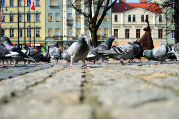 Gołębie w stadzie na brukowanym rynku w centrum miasta.