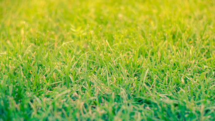 Green grass in the sun. Lawn or meadow in summer.
